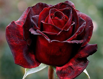 Rose (Dark Red)