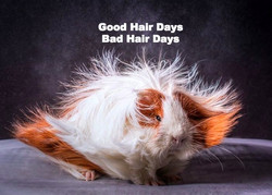 Hairstyles-of-Guinea-Pigs-15_edited