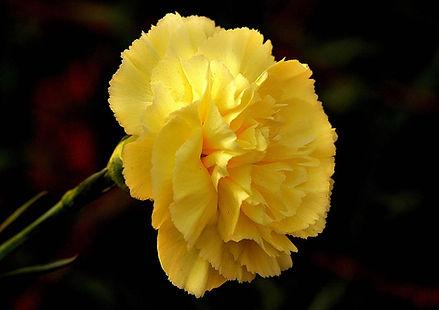 Carnation (yellow)