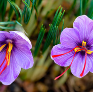 Crocus (Saffron)