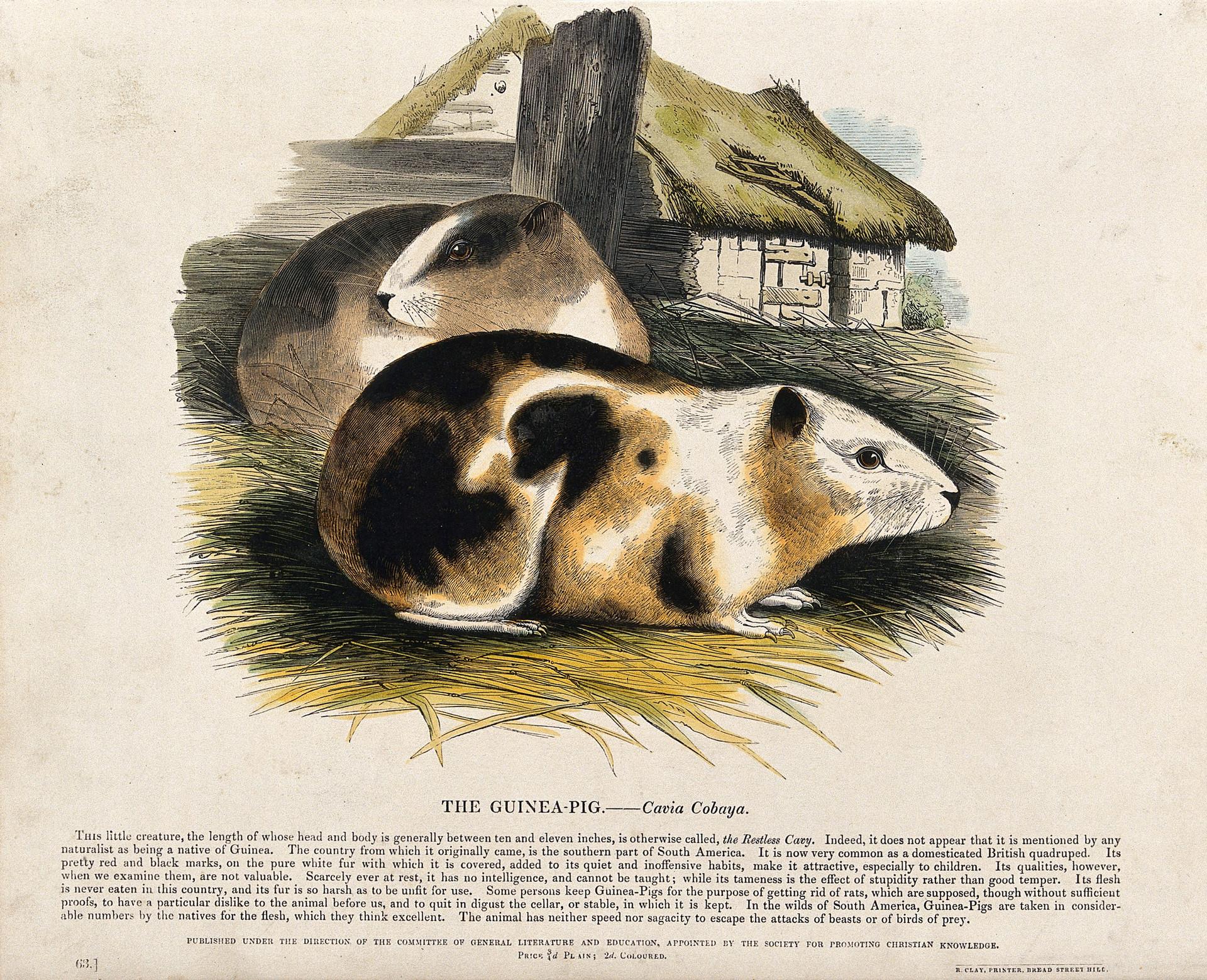 The Guinea PIg - Cavia Cobaye