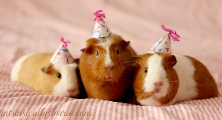 cute-guinea-pigs-birthday-hats_zpsc746b0b9