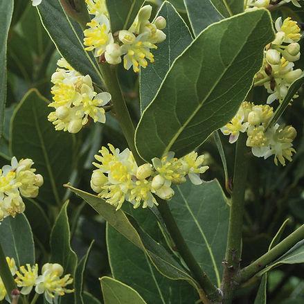 Bay Tree (Laurel)