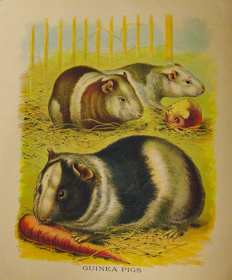 Guinea Pigs Eating a Carrot and Apple