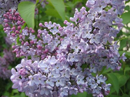 Lilac, Purple