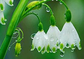 St. Agnes Flower (Snowflake)