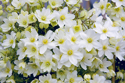 Clematis (evergreen)