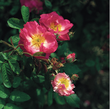 Rose (St. Nicholas)