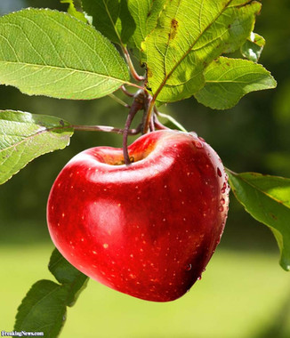 A heart-shaped apple of modern variety