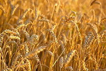 blé.jpg
