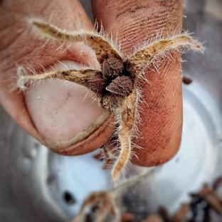 borage seed.jpeg