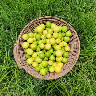lemons from farm.jpg