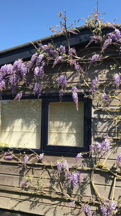 bloeiende wisteria.jpeg