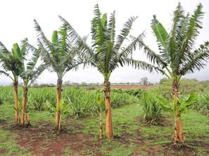MAUI · OCEAN VODKA ORGANIC FARM TOUR