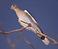 oiseau ref chant cga.png