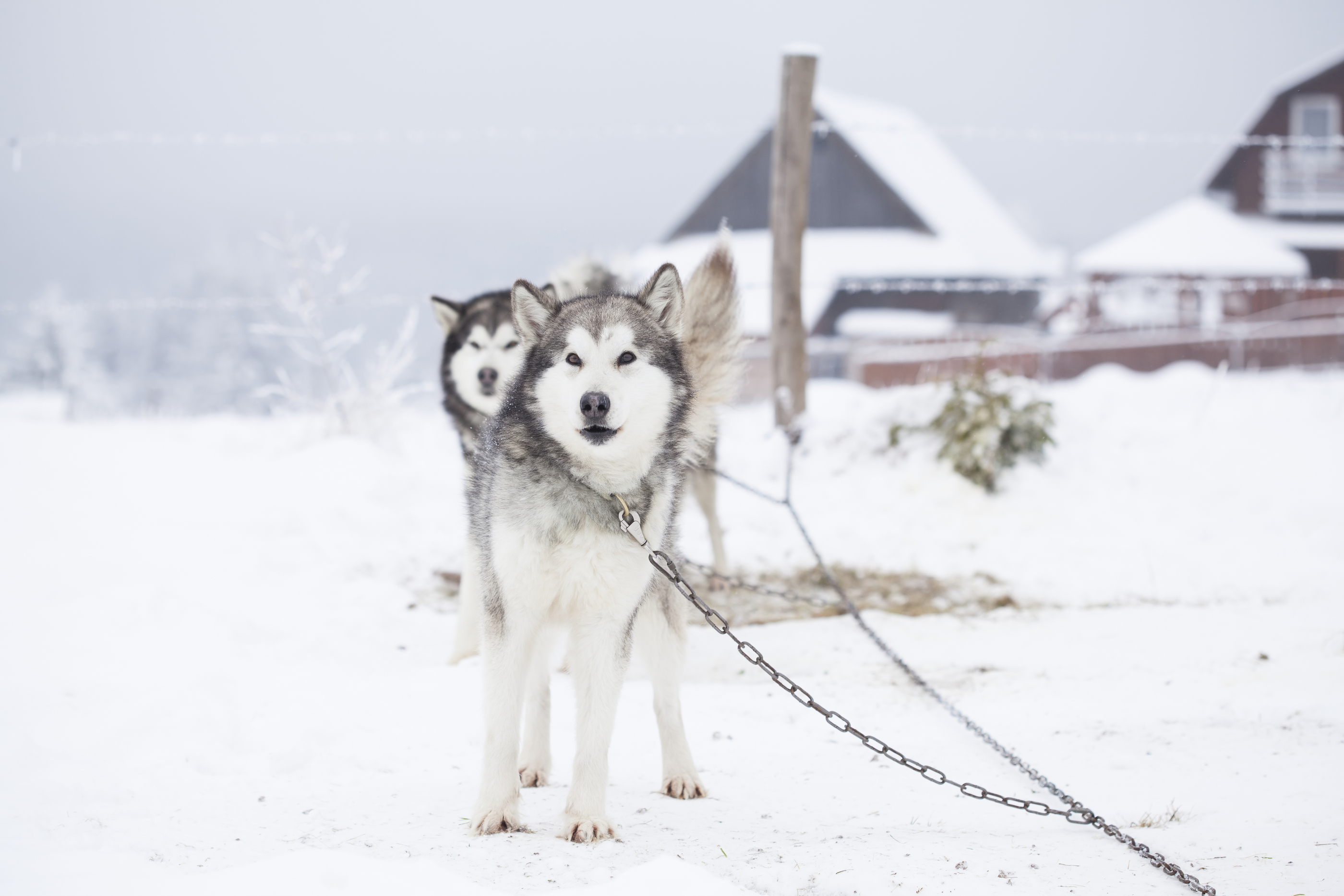 Siberian Husky waiting to start the ride in the snow