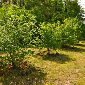 Comment planter un arbre à truffe ?
