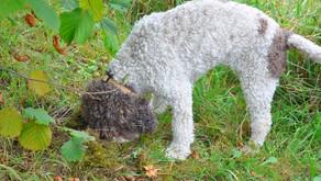 Comment dresser un chien truffier ?