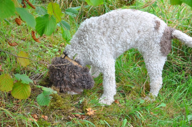 dresser chien truffe