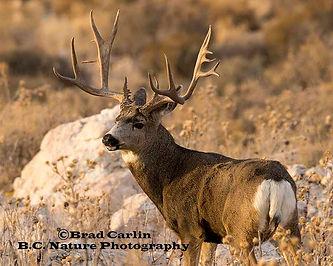 Deer 20181.jpg