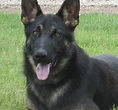 National Police Dog Foundation K9 - Zeke260x300-260x300.jpg