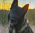 National Police Dog Foundation - Dusty260x300-260x300.jpg