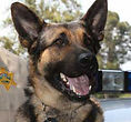 National Police Dog Foundation K9 - hanno-260x300-260x300.jpg