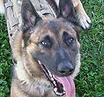 National Police Dog Foundation - Diesel260x300-260x300.jpg