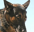 National Police Dog Foundation K9 - ben-260x300.jpg