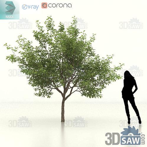 Tree, Plant - Malus coronaria - Sweet Crab Apple - MX-458