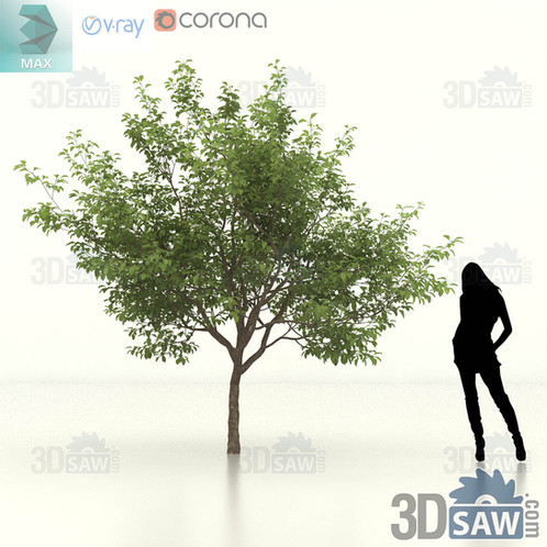 3ds Max Tree, Plant - Malus coronaria - Sweet Crab Apple - MX-458