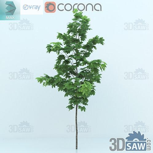 Tree, Plant - Acer platanoides - Norway Maple - MX-0000347