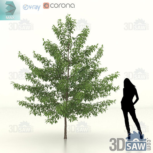 Tree, Plant - Nyssa Sylvatica - Black Gum - MX-461