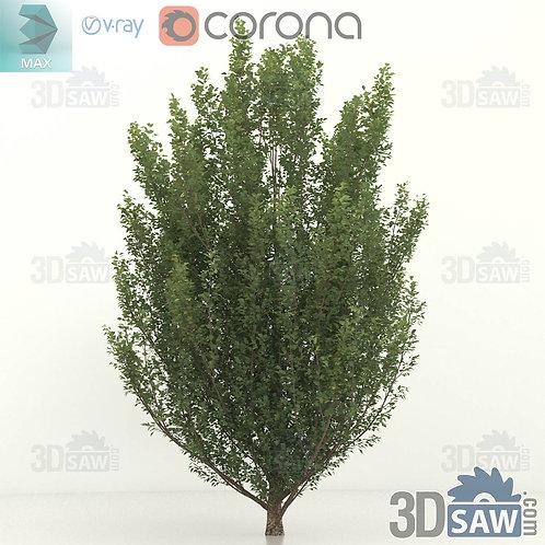 Tree, Plant - Carpinus betulus - Hornbeam - MX-0000361