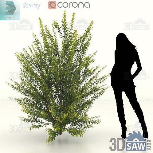 Tree, Plant, Shrubs - Ligustrum Ovalifolium - Privet Hedge - MX-413