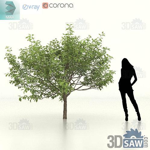 Tree, Plant - Malus coronaria - Sweet Crab Apple - MX-456