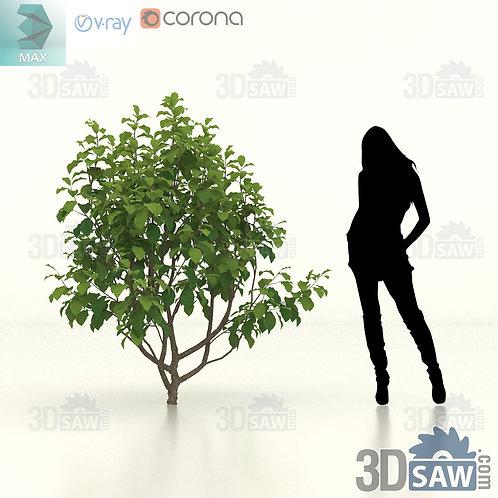 Tree, Plant - Parrotia Persica - Persian Ironwood - MX-466