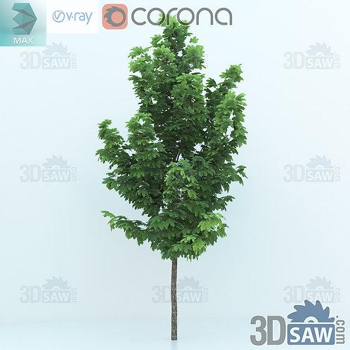 Tree, Plant - Acer platanoides - Norway Maple - MX-0000348