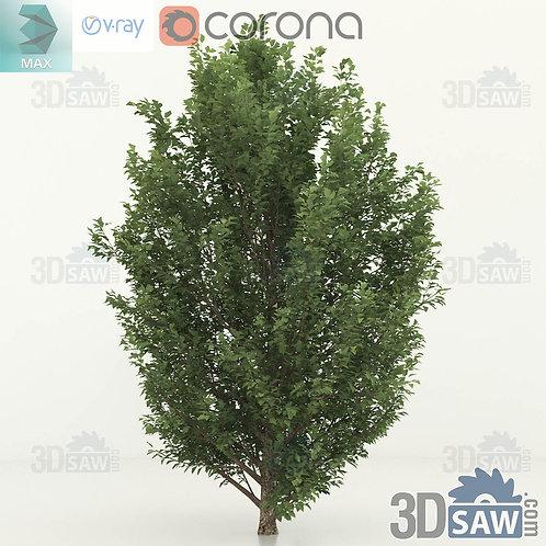 Tree, Plant - Carpinus betulus - Hornbeam - MX-0000359