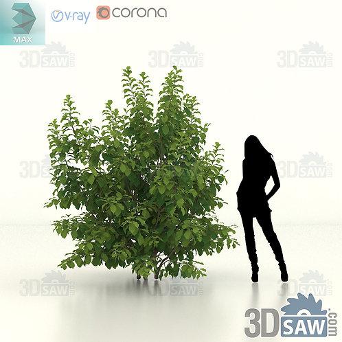Tree, Plant - Parrotia Persica - Persian Ironwood - MX-467