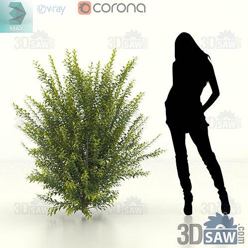 Tree, Plant, Shrubs - Ligustrum Ovalifolium - Privet Hedge - MX-412
