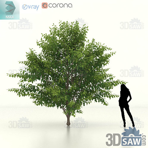 Tree, Plant - Parrotia Persica - Persian Ironwood - MX-468