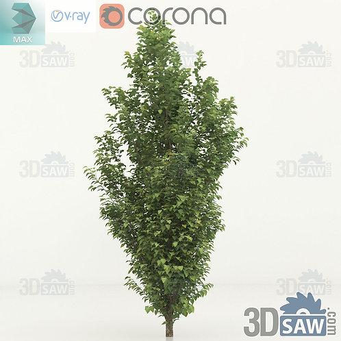 Tree, Plant - Carpinus betulus - Hornbeam - MX-0000358