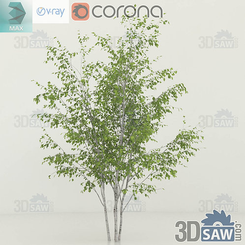 Tree, Plant - Betula utilis - Himalayan birch - MX-0000356