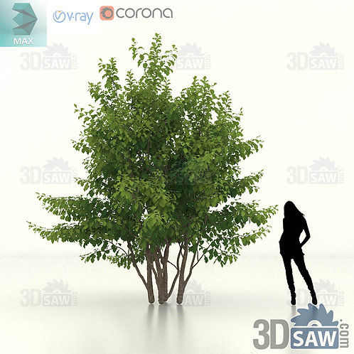 Tree, Plant - Parrotia Persica - Persian Ironwood - MX-469