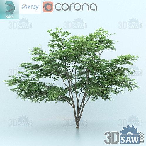 Tree, Plant - Acer Palmatum - Momiji - MX-0000345