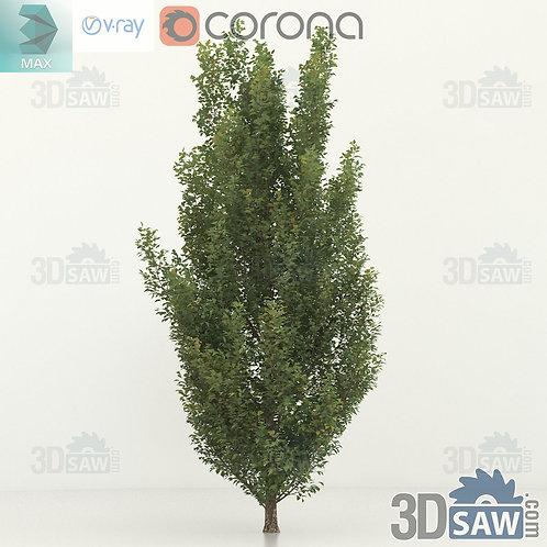 Tree, Plant - Carpinus betulus - Hornbeam - MX-0000360