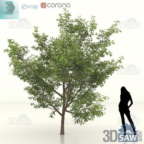 Tree, Plant - Malus coronaria - Sweet Crab Apple - MX-459