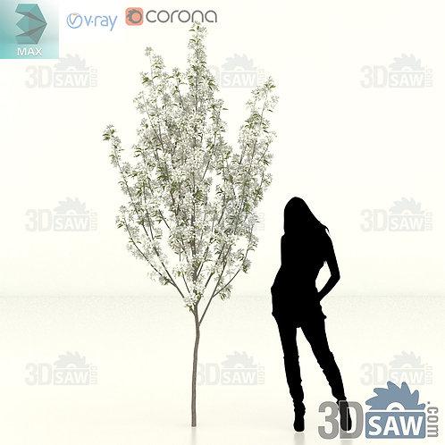 Tree, Plant - Pyrus Calleryana - Callery Pear - MX-476