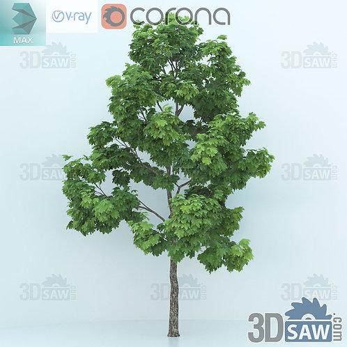 Tree, Plant - Acer platanoides - Norway Maple - MX-0000350